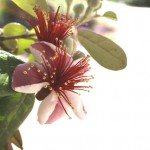 Thumbnail image for Edible Flowers: Pineapple Guava