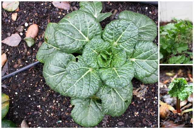 Far left: tatsoi, an Asian green similar to spinach. Top right: cilantro. Bottom right: rhubarb.